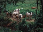 The Madhya Pradesh Govt In Talks With Foreign Firm To Build 300 Smart Cowsheds