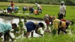 Per Quintal For Paddy Central Government Increases Minimum Support Price For Kharif Crops