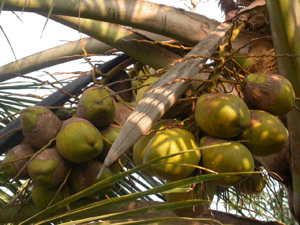 Quit Accenture Job to Start Up Tenco, A Fresh Coconut Water Supplier