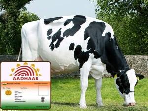 Over 90 Lakh Cattle Madhya Pradesh Get Unique Identification