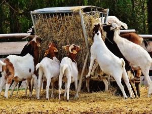 This Scientist Quit His Job The Us Start Goat Farming