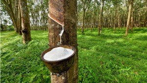 Rubber Price Rises In International Market Reflections In Kerala Too